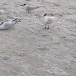 You can just walk up to these beautiful Royal and Sandwich Terns