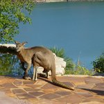 A roo having a drink!