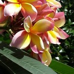 Stunning Frangipani flowers outside our veranda