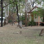 Kangaroos grazing in the grounds