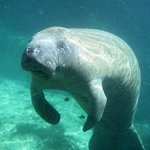 Manatee we've seen with Fun 2 Dive