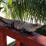 Iguana visitor right outside our room!