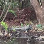 Alligators in the wild