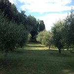 olive grove in grounds