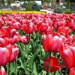 lots of tulips when in season