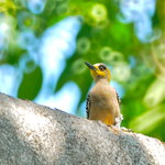Birding San Pancho - Private Tours