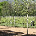 Workers tending to the vines