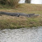 alligator on 14th hole