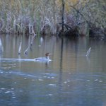 merganser on beaver pond