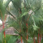 Red Stem Palms at Lemon Tree