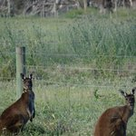 Kangaroo's nearby