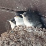 ... and the House Martins too