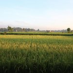 Rice Paddies in November...view from Villa Asmara!