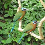 Motmot - a bird so nice they named it twice!