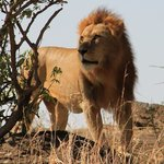 Magnificent Lion in the Masai Mara