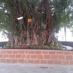 Ficus Benjamina Near Entrance