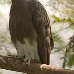 The Fish Eagle at the Bird Sanctuary