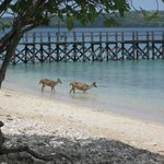 Deer and resort landing/loading jetty (Menjangan Island in background)