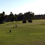 Kangaroos on golf course