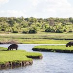 Hippos on the Chobe River near the lodge