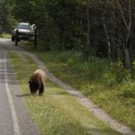 A bear outside of Many Glacier Campground