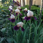 Irises in the beautiful, extensive garden