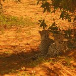 Tsavo East - cubs - KET Safari