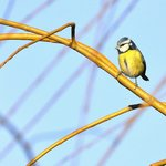 Plenty of opportunities to get close to nature - Blue Tit
