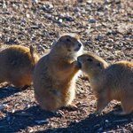 One prairie dog feeding the other-cutest picture ever!!!!!