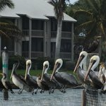 Line up of pelicans