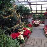 Poinsettias at the botanical garden
