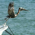 Lots of opportunities to watch  pelicans and brown boobies fishing right from your room