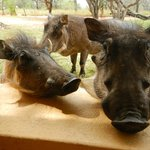 Cute warthogs outside our door.