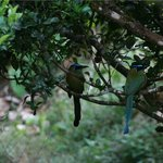 Motmot Birds at El Bosque