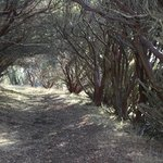Manzanita path, these are the oldest manzanitas I've seen.