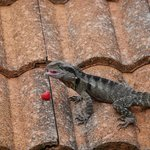 Lizards had a great time eating some raspberries