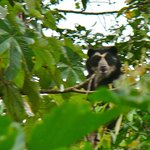 the rare spectacled bear
