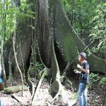 Giant buttressed roots of the Ceibo tree.