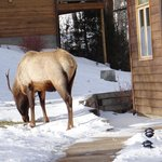 elk at our front door