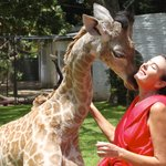 Kissing giraffes!