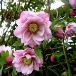 One of the many winter hellebores in the garden