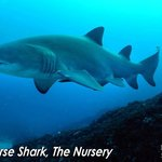 grey nurse sharks can be scuba dived with from May til December