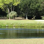Egrets on the golf coarse