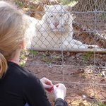 My grandaughter and this white tiger sat and contemplated each other for quite some time.