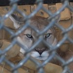 This is Tin  Cup.  'Beautiful puma.