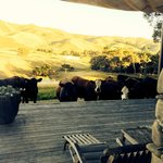 Cows at the back porch