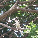 Kookaburra at breakfast