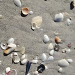 lots of shells on Lido Beach