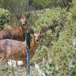 Grysbok are very shy - these two live in the bush at our fence