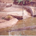 tamed crocodiles, or are they?